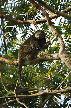 Bear Cuscus (Ailurops ursinus) in tree, Tangkoko Nature Reserve, Sulawesi, Indonesia  -  Ch'ien Lee