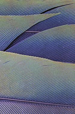Superb Fruit-Dove (Ptilinopus superbus) feathers, Gunung Tambusisi, Morowali Nature Reserve, central Sulawesi, Indonesia  -  Ch'ien Lee