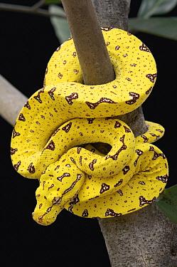 Green Tree Python (Morelia viridis) young, Jakarta, Indonesia  -  Ch'ien Lee