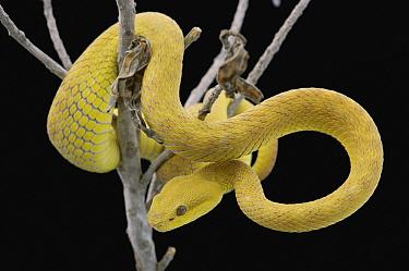 White-lipped Island Pit Viper (Trimeresurus albolabris insularis) coiled in tree, Jakarta, Indonesia  -  Ch'ien Lee