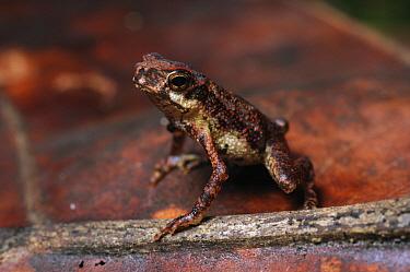 True Toad (Pelophryne signata) lives amongst leaf litter on the lowland rainforest floor, Similajau National Park, Malaysia  -  Ch'ien Lee