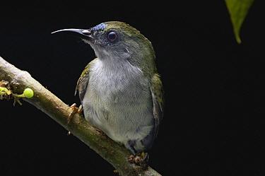 Plain Sunbird (Anthreptes simplex), Malaysia  -  Ch'ien Lee