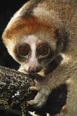 Slow Loris (Nycticebus kayan), Kuching, Borneo, Malaysia  -  Ch'ien Lee