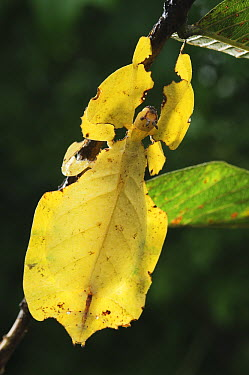 Javanese Leaf Insect (Phyllium bioculatum), Bogor, Indonesia  -  Ch'ien Lee