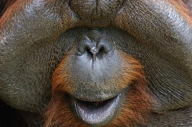Orangutan (Pongo pygmaeus) male with large cheek patches calling, Kubah National Park, Malaysia  -  Ch'ien Lee