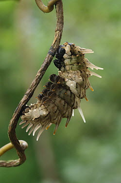 Rajah Brooke's Birdwing (Trogonoptera brookiana) caterpillar entering pupal stage, Kipandi Butterfly Park, Crocker Range, Malaysia  -  Ch'ien Lee