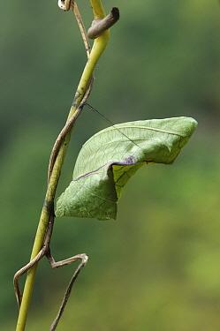 Rajah Brooke's Birdwing (Trogonoptera brookiana) pupa, Kipandi Butterfly Park, Crocker Range, Malaysia  -  Ch'ien Lee