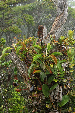 Low's Pitcher Plant (Nepenthes lowii) epiphyte, Gunung Murud, Pulong Tau National Park, Malaysia  -  Ch'ien Lee
