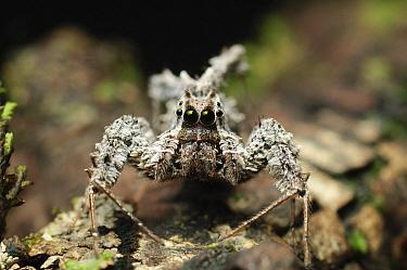 Jumping Spider (Portia sp), Bau, Malaysia  -  Ch'ien Lee