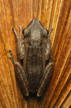 Java Whipping Frog (Polypedates leucomystax), Kuching, Borneo, Malaysia  -  Ch'ien Lee