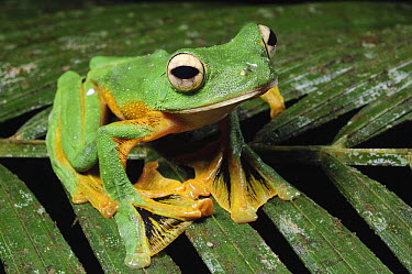 Wallace's Flying Frog (Rhacophorus nigropalmatus) showing webbed membranes between toes, Kubah National Park, Malaysia  -  Ch'ien Lee