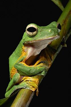 Wallace's Flying Frog (Rhacophorus nigropalmatus), Kubah National Park, Malaysia  -  Ch'ien Lee