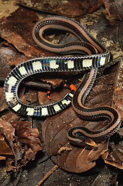 Banded Coral Snake (Calliophis intestinalis) showing both topside and underside, Kubah National Park, Malaysia  -  Ch'ien Lee