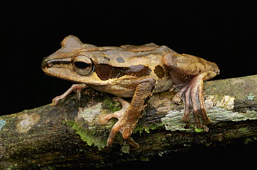 Dark-eared Tree Frog (Polypedates macrotis), Danum Valley Conservation Area, Malaysia  -  Ch'ien Lee