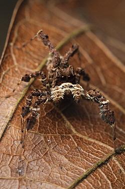 White-moustached Portia (Portia labiata) spider, Gunung Penrissen, Borneo, Malaysia  -  Ch'ien Lee