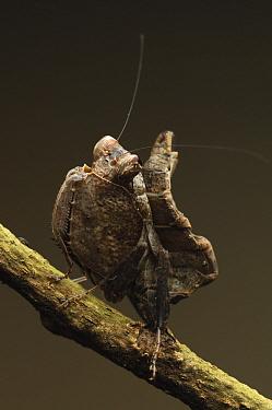 Mantis (Hestiasula sp) mimics a dry leaf, Bau, Malaysia  -  Ch'ien Lee