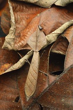 Brown Leaf Mantis (Deroplatys truncata) male camouflaged on leaf, Bukit Sarang Conservation Area, Bintulu, Borneo, Malaysia  -  Ch'ien Lee