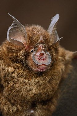 Bornean Horseshoe Bat (Rhinolophus borneensis), Bukit Sarang Conservation Area, Bintulu, Borneo, Malaysia  -  Ch'ien Lee