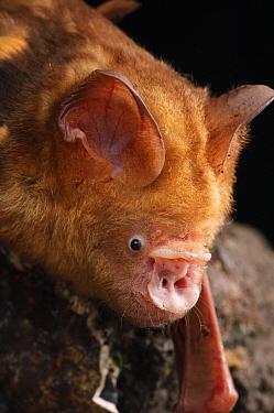 Diadem Roundleaf Bat (Hipposideros diadema), Bukit Sarang Conservation Area, Bintulu, Borneo, Malaysia  -  Ch'ien Lee