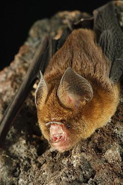 Fawn Roundleaf Bat (Hipposideros cervinus), Bukit Sarang Conservation Area, Bintulu, Borneo, Malaysia  -  Ch'ien Lee