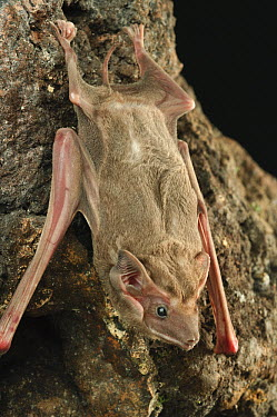 Black-bearded Tomb Bat (Taphozous melanopogon) at night, Bukit Sarang Conservation Area, Bintulu, Borneo, Malaysia  -  Ch'ien Lee