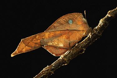 Grasshopper (Chorotypus sp) leaf mimic, Permai Rainforest Resort, Malaysia  -  Ch'ien Lee