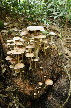 Mushrooms sprout from mound of elephant dung in rainforest, Royal Belum State Park, Malaysia  -  Ch'ien Lee