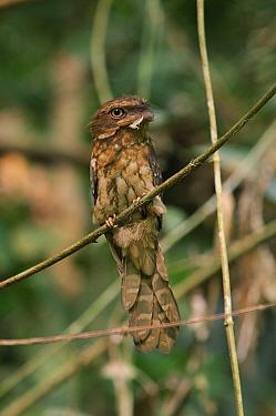 Gould's Frogmouth (Batrachostomus stellatus), Royal Belum State Park, Malaysia  -  Ch'ien Lee