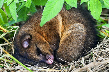 Common Brush-tailed Possum (Trichosurus vulpecula) curled up in a ball sleeping, Atherton Tableland, Queensland, Australia  -  Konrad Wothe