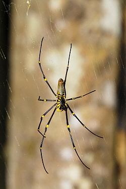 Giant Wood Spider (Nephila maculata) on web, Atherton Tableland, Queensland, Australia  -  Konrad Wothe