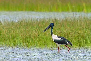 Black-necked Stork (Ephippiorhynchus asiaticus) male wading through wetland, North Queensland, Queensland, Australia  -  Konrad Wothe