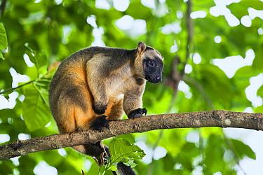 Lumholtz's Tree-kangaroo (Dendrolagus lumholtzi) in tree, Atherton Tableland, Queensland, Australia  -  Konrad Wothe