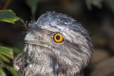 Tawny Frogmouth (Podargus strigoides), Queensland, Australia  -  Konrad Wothe