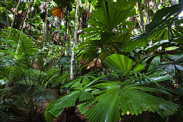 Licuala Fan Palm (Licuala ramsayi) leaves, Daintree National Park, North Queensland, Queensland, Australia  -  Konrad Wothe