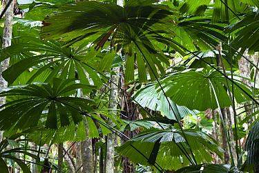 Licuala Fan Palm (Licuala ramsayi) fronds, Daintree National Park, North Queensland, Queensland, Australia  -  Konrad Wothe