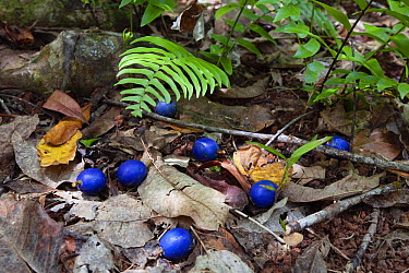 Blue Quondong (Elaeocarpus angustifolius) fruit on rainforest floor, Daintree National Park, North Queensland, Queensland, Australia  -  Konrad Wothe