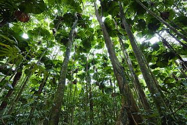 Licuala Fan Palm (Licuala ramsayi) forest, Daintree National Park, North Queensland, Queensland, Australia  -  Konrad Wothe