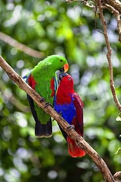 Eclectus Parrot (Eclectus roratus) pair courting, female on right and male on left, Cape York Peninsula, North Queensland, Queensland, Australia  -  Konrad Wothe