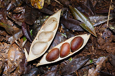 Black Bean Tree (Castanospermum australe) seeds in pod on forest floor, Atherton Tableland, North Queensland, Queensland, Australia  -  Konrad Wothe