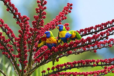 Rainbow Lorikeet (Trichoglossus haematodus) trio in Umbrella Tree (Schefflera actinophylla), Atherton Tableland, Queensland, Australia  -  Konrad Wothe