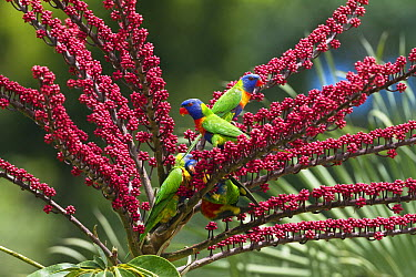 Rainbow Lorikeet (Trichoglossus haematodus) group in Umbrella Tree (Schefflera actinophylla), Atherton Tableland, Queensland, Australia  -  Konrad Wothe