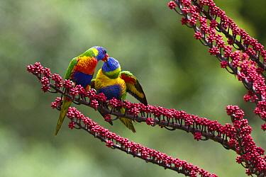 Rainbow Lorikeet (Trichoglossus haematodus) feeding fledgling in Umbrella Tree (Schefflera actinophylla), Atherton Tableland, Queensland, Australia  -  Konrad Wothe