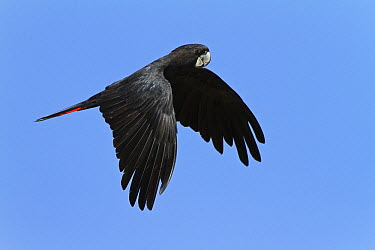 Red-tailed Black-Cockatoo (Calyptorhynchus banksii) male flying, Queensland, Australia  -  Konrad Wothe