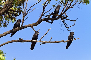Red-tailed Black-Cockatoo (Calyptorhynchus banksii) females, Queensland, Australia  -  Konrad Wothe