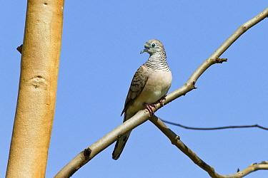 Peaceful Dove (Geopelia placida), Queensland, Australia  -  Konrad Wothe