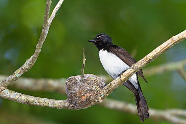 Willie-wagtail (Rhipidura leucophrys) at nest, North Queensland, Queensland, Australia  -  Konrad Wothe