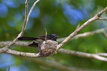 Willie-wagtail (Rhipidura leucophrys) parent incubating eggs on nest, North Queensland, Queensland, Australia  -  Konrad Wothe