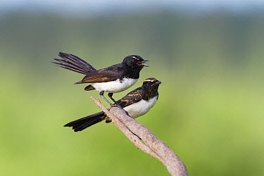 Willie-wagtail (Rhipidura leucophrys) parent with fledgling, North Queensland, Queensland, Australia  -  Konrad Wothe