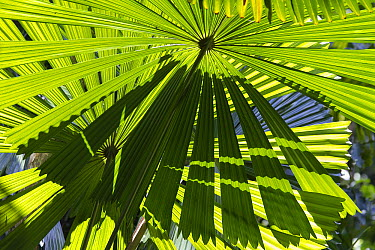 Licuala Fan Palm (Licuala ramsayi) fronds, Daintree National Park, North Queensland, Queensland, Australia  -  Konrad Wothe