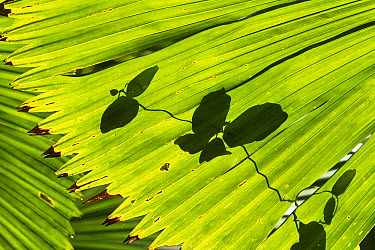 Licuala Fan Palm (Licuala ramsayi) frond and leaf shadow, Daintree National Park, North Queensland, Queensland, Australia  -  Konrad Wothe